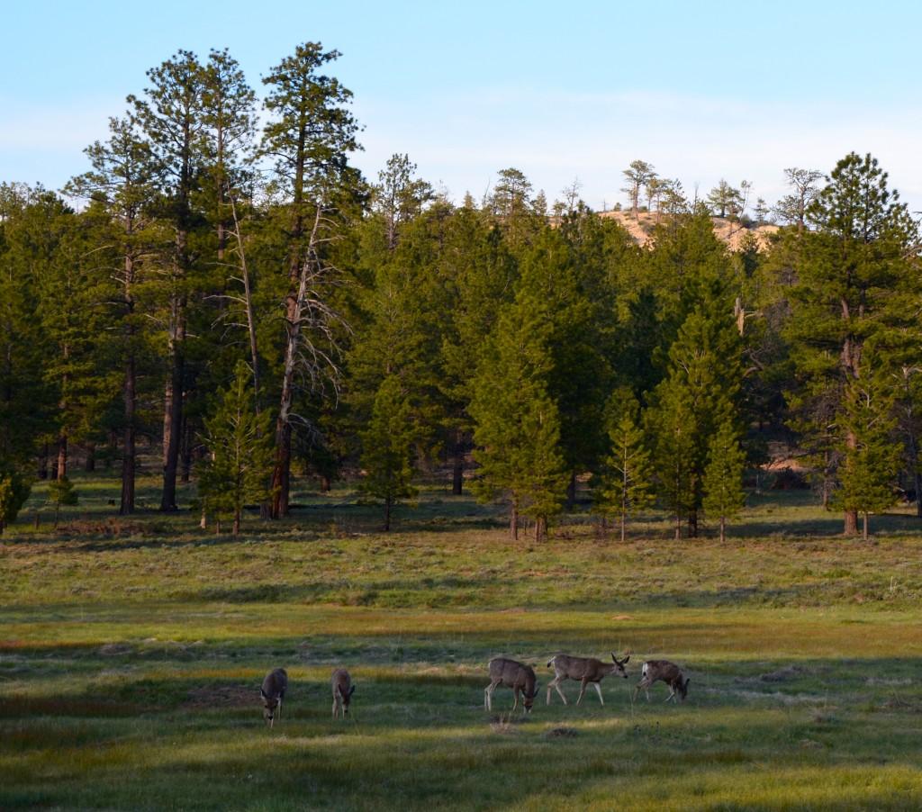 Elk-Kühe