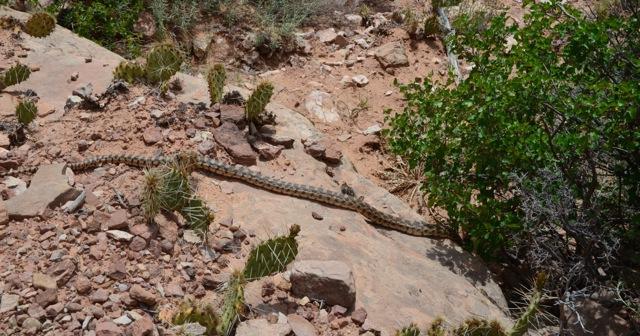 eine Rattlesnake