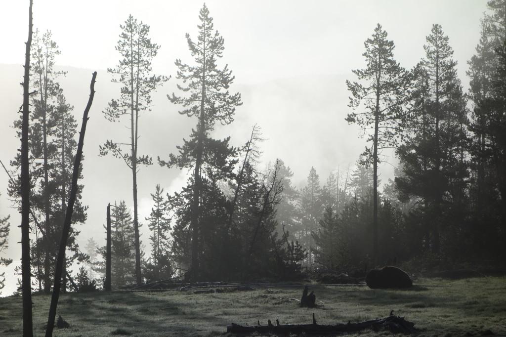 im Frühtau und Nebel mit noch schlafenden Bison